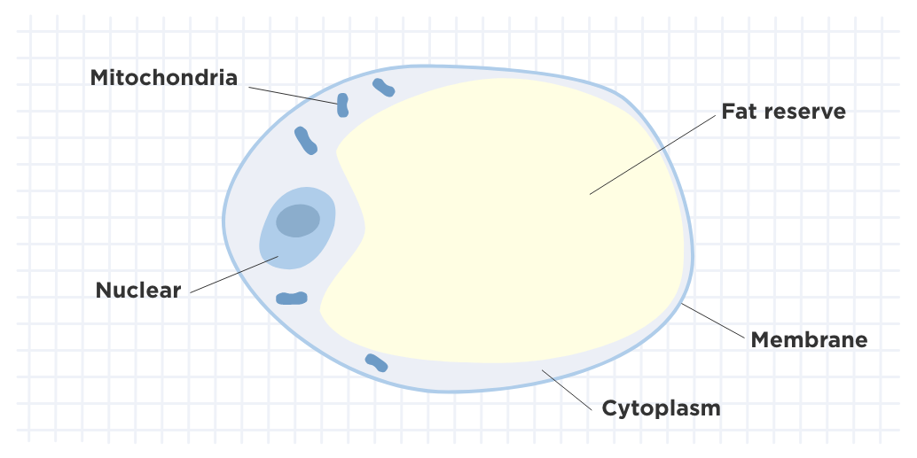 An Adipocyte or body fat cell
